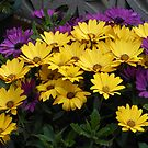 Little Queens - Gold and Purple Cape Daisies by BlueMoonRose
