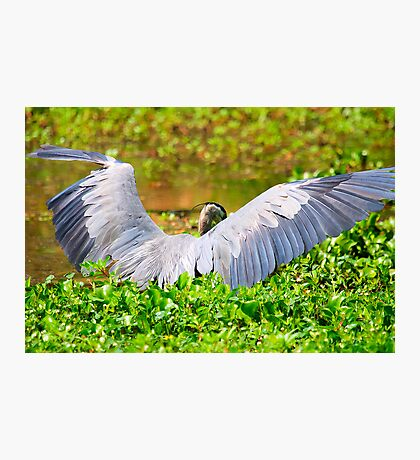 Great Blue Heron Spreads His Wings Photographic Print