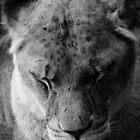 Quiet Lioness by Richard Hepworth