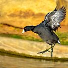 American Coot by George I. Davidson