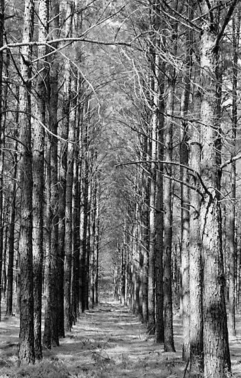 Pine Plantation by Betty Northcutt