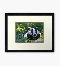 Badger in the warm summer sun Framed Print