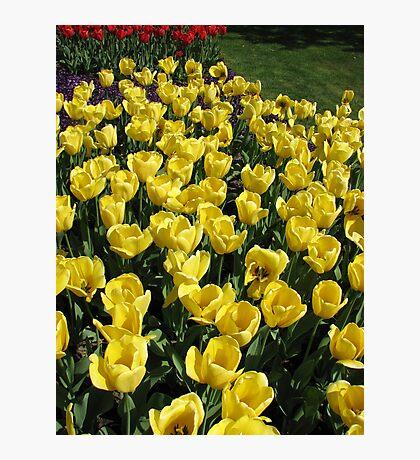 Glowing Golden Tulips in the Garden of Europe Fotodruck