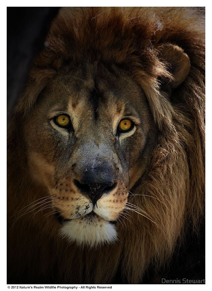 Lions Eye II by Dennis Stewart