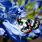 Spotted Jezebel by adbetron