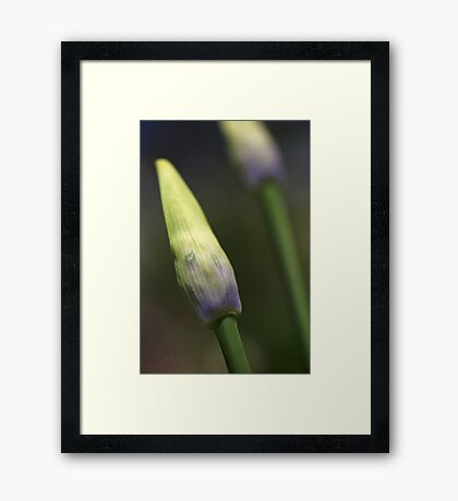Agapanthus Bud Delight  Framed Print