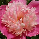 Perfect Pink Peony by reneecettie