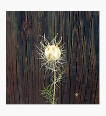 Lacy Seed Pod Photographic Print