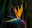 Bird of Paradise Flower (EH) by Ray Warren