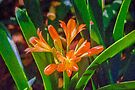 Clever Clivia      (KP) by Ray Warren