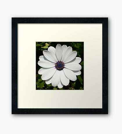 Beautiful Blossoming White Osteospermum Framed Print