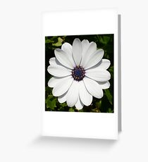 Beautiful Blossoming White Osteospermum Greeting Card