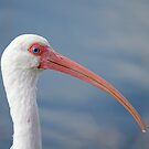 Oh No I have a Runny Beak (ibis) by TJ Baccari Photography