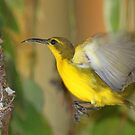 Nest building Sunbird by robmac