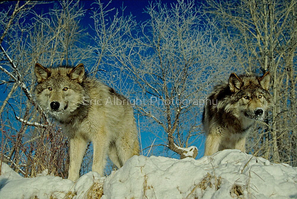 Wolf Brothers by Eric Albright Photography