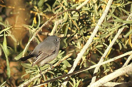 Blue-gray Gnatcatcher (Female) by Kimberly Chadwick