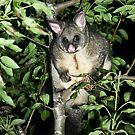 Brushtail possum by Christine Beswick