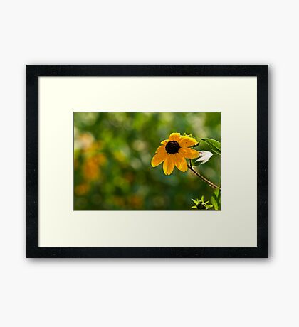 Single Rudbeckia Framed Print