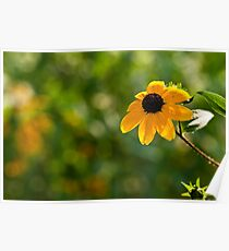 Single Rudbeckia Poster