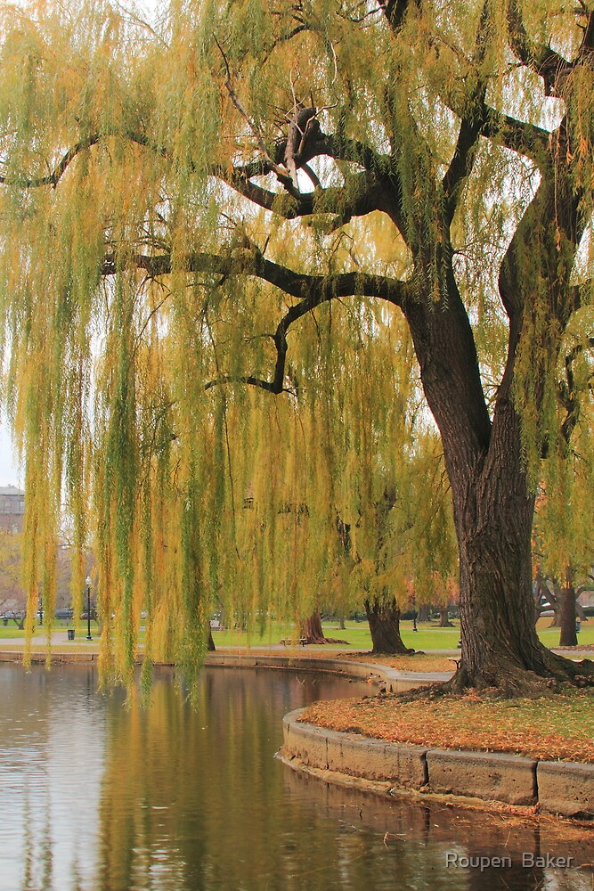 Weeping Willow in the Boston Public Gardens\