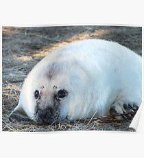 Donna Nook Seal Poster