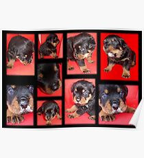 Cute Rottweiler Puppy Collage Poster