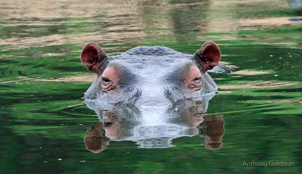 Hippo reflections by Anthony Goldman