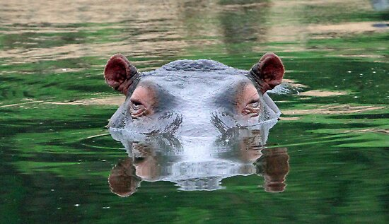 Hippo reflections by Anthony Goldman