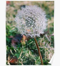 Dandelion Seed  Poster