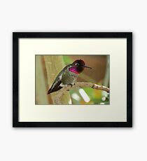 Anna's Hummingbird (Male) Framed Print