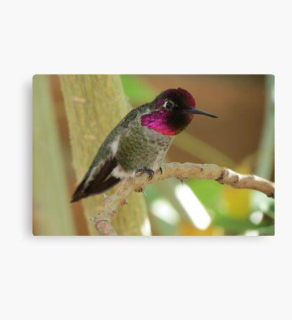 Anna's Hummingbird (Male) Canvas Print
