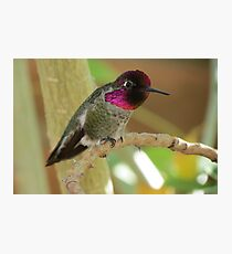 Anna's Hummingbird (Male) Photographic Print