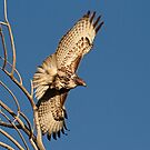 120112 Red Tailed Hawk by Marvin Collins
