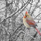 Female Northern Cardinal by (Tallow) Dave  Van de Laar