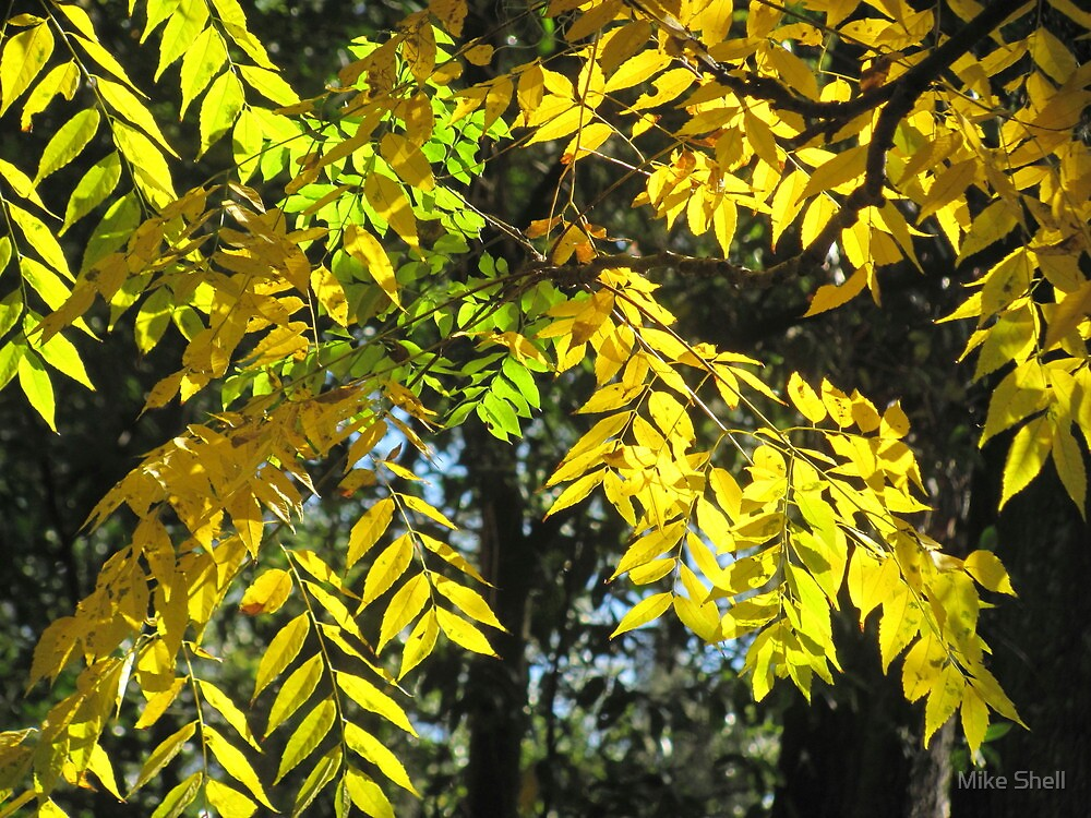 Golden raintree leaves by Mike Shell