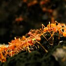 Ant Line by Edward Perry