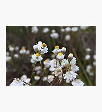 Paper Daisy Photographic Print