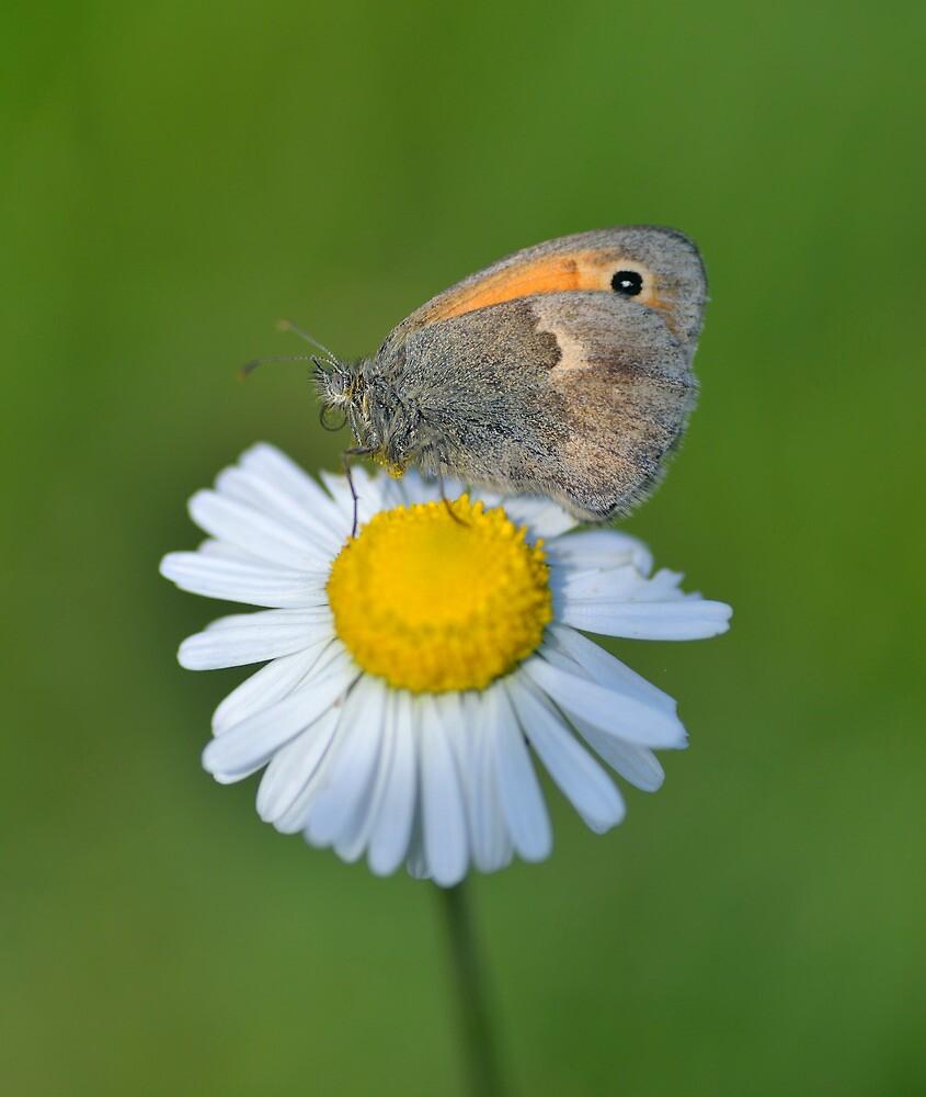 Butterfly on a Daisy by Kasia Nowak