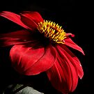 Red Dahlia on black by flips99