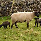 November Lambs by Kat Simmons