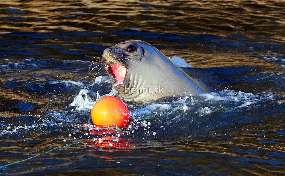 Elephant Seal Marlo Vic. Australia by helmutk