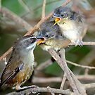 White - Browed Scrubwrens Marlo.Vic. by helmutk
