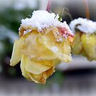 Snow Roses by hanslittel