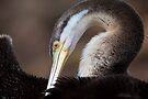Australian Darter by Stuart Robertson Reynolds