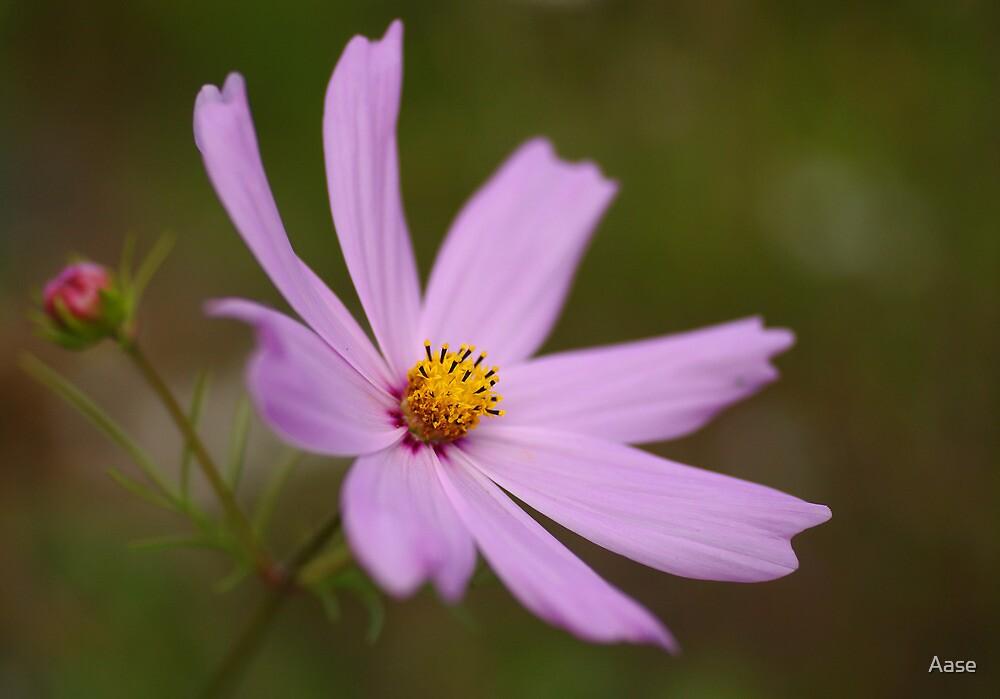 Cosmos bipinnatus by Aase