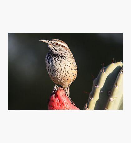 Cactus Wren Photographic Print