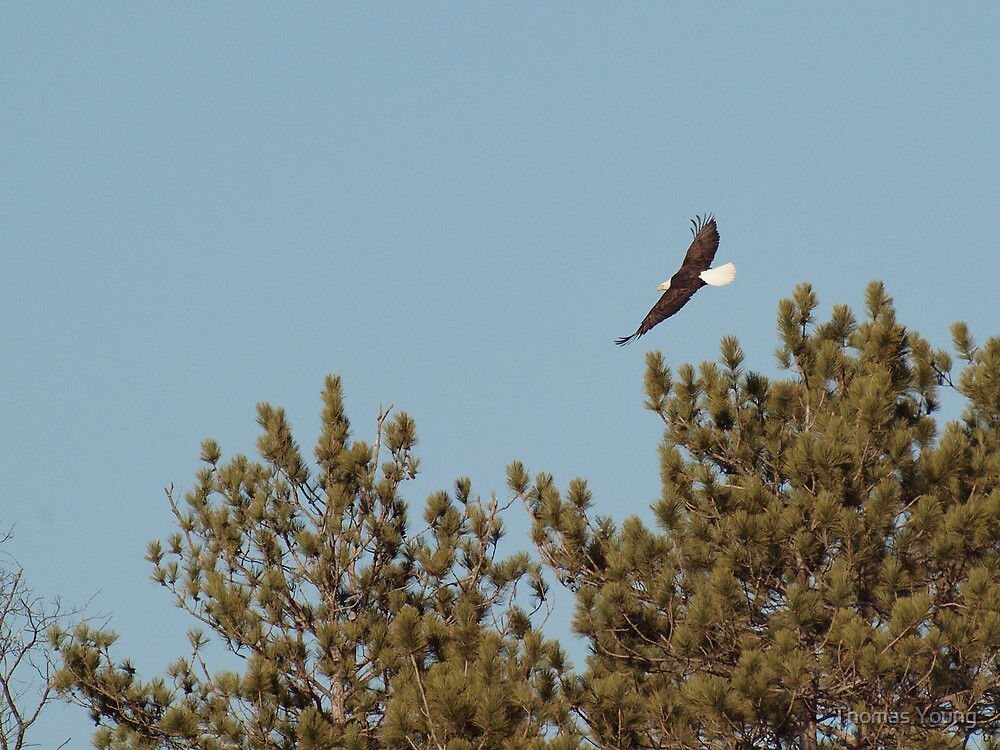Soaring Bald Eagle by Thomas Young
