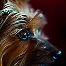 Yorkie  by Stephen Forbes