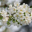 Cherry Blossoms by Deborah Singer