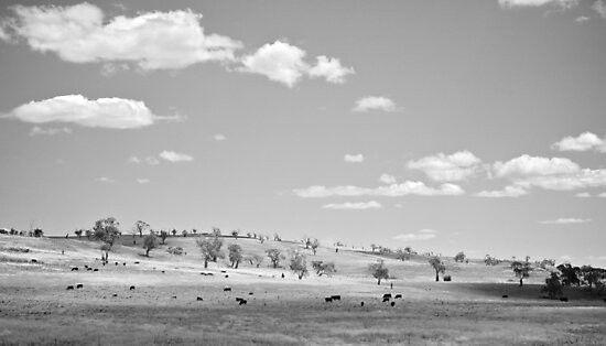 Cattle on Curry Flat. by Skye Auer